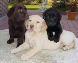 Labrador várias cores disponíveis, machos e fêmeas