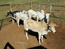 Vende-se vacas