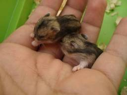 Hamster anão russo filhote
