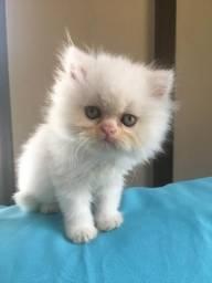 Vendo lindos filhotes de gato persa puro