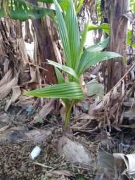 Muda de coco, entrego Praia Grande