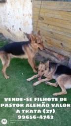 Vendo filhotes de pastor alemão