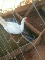 Vendo casal de Patos branco