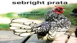 Filhotes pintinhos de galinha ornamental sebright prata - zebraite ( tem que buscar )