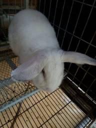 Vende coelha adulta bom p quem quer começar uma criação