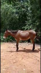 Título do anúncio: Vendo cavalo burro