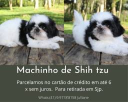 Lindo Machinho de Shihtzu em Promoção