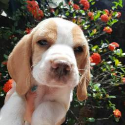 Título do anúncio: Canil Especializado na Raça Beagle Filhotes com Pedigree