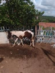 Pampa de preto fêmea  com uma potra de dois meses mangalagar