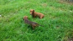 Vendo esse casal a cachorro da raça Basset