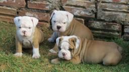 Filhotes de Bulldog Inglês Pronta Entrega - 10x Sem juros - Pedigree CBKC