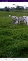 Alugo pasto para 100 reses no município de canavieiras fazenda plana muita agua