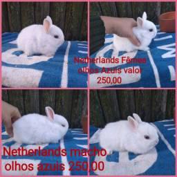 Mini coelhos raças netherlands e Lion