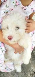 Título do anúncio: Lindo poodle ? toy