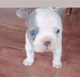 Título do anúncio: Cachorro buldog frances