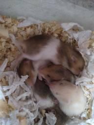 Título do anúncio: Estou vendendo 10 filhotes de hamsters por R$ 12 renais