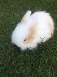 Título do anúncio: Coelho anão Teddy Dwerg mini coelho