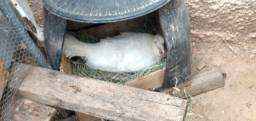 Título do anúncio: Casal de Peru branco 400 reais leva dois pintinhos de Peru branco de brinde
