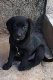 Título do anúncio: Doação filhotes Labrador