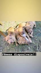Fêmeas filhotes de American Pit Bull Terrier