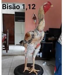 Aves indio G