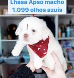 Promoção a partir 990,00 Macho de Lhasa Apso maravilhosos