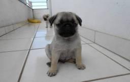 Pug mini
