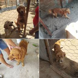 Vendemos cachorros Gold Retriver