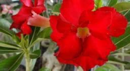 Curso de rosas do deserto