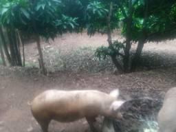 Vendo estes porcos