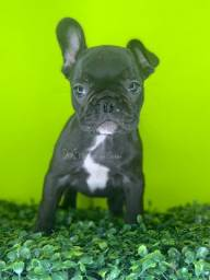 Título do anúncio: Bulldogs - Canil Filhotes da Serra