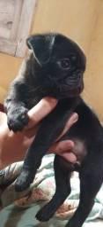 Título do anúncio: Filhote de pug mini MACHO raça pura
