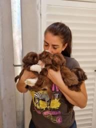 Título do anúncio: Filhotes de cães da raça Shihtzu - Meninos