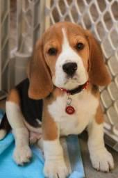 Título do anúncio: Apaixonantes Beagle Filhote 13 Polegadas com Vacina Pedigree Microchip