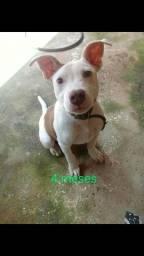 Pitbull filhote com 6 meses