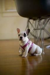 Bulldog Francês Venha conhecer seu melhor amigo