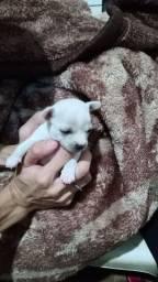 Título do anúncio: Chihuahua machinho