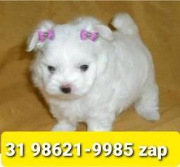 Título do anúncio: Canil Líder Cães Filhotes BH Maltês Lhasa Poodle Basset Beagle Shihtzu Yorkshire