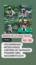Lindos Filhotes De Border Collie