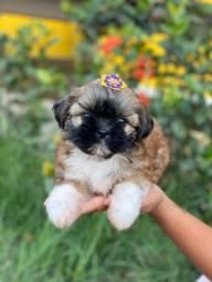 Título do anúncio: Os Mais lindos filhotes de Shih-tzu Entrega imediata já documentados