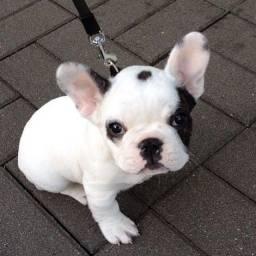 Lindo Bulldog Francês