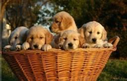 Filhotes Golden Retriever com pedigree e vacina importada