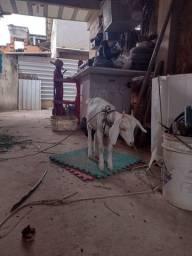 Título do anúncio: cabra fêmea, 7 meses de idade..