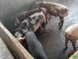 Título do anúncio: Porco  barato urgente