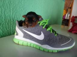 Filhote Micro de Yorkshire Terrier