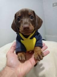 Basset dachshund Mine C Pedigree