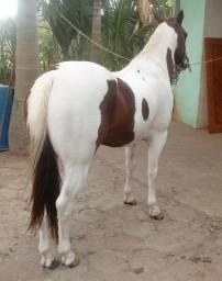 Garanhão paint horse- ac mangalarga