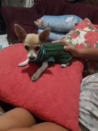 Cachorro pinther zero femea
