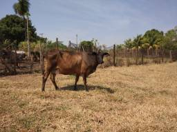 Vaca amojando