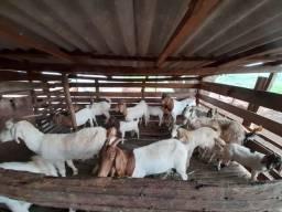 Título do anúncio: Bode, cabra e cabritos boer
